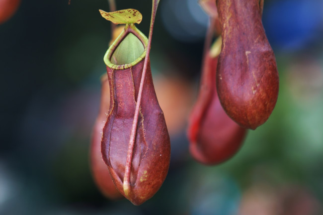 Pitcher plant in Bornero - shutterstock