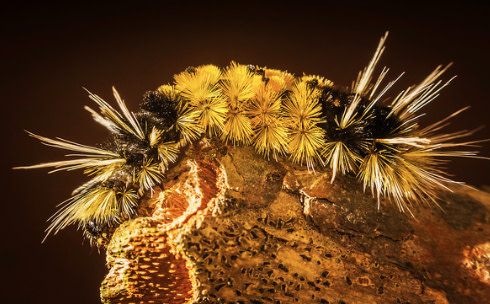 Spotted-Tussock-Moth-Caterpillar_Goleta-CA.jpg