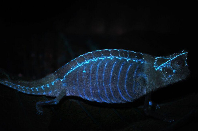 117glowing-chameleon-skeleton.jpeg