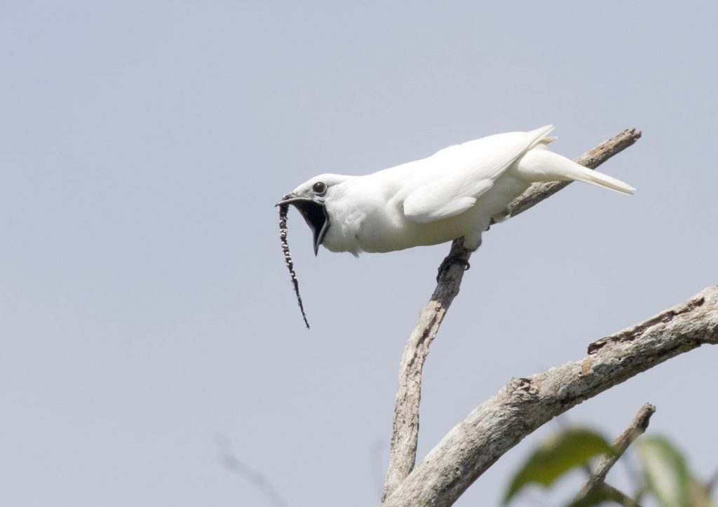 Scientists in the Amazon Have Recorded the World's Loudest Bird. It Hits a Painful 125 Decibels