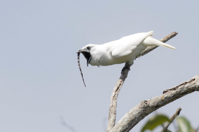 White Bellbird