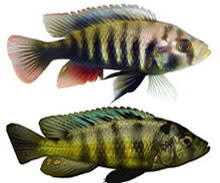 cichlid-fish.jpg