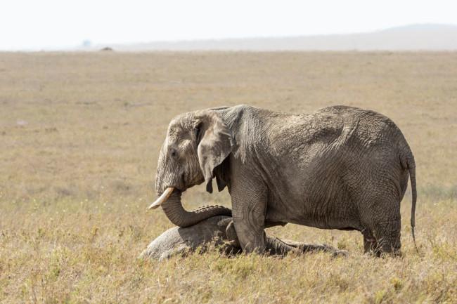 elephant mourning