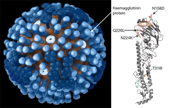 Haemagglutinin_mutant_flu.jpg