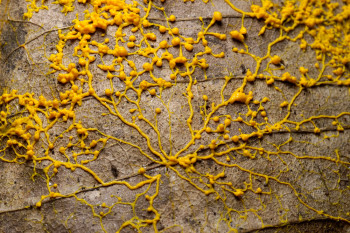 Slime Molds Show Us the Perks of Being a Loner