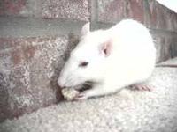 albino_pet_rat.jpg