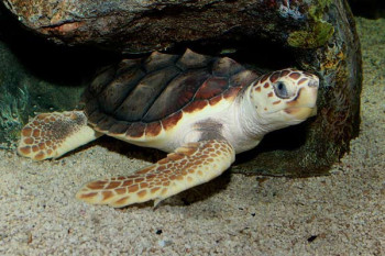Sea Turtles Are Eating Plastic Because It Smells Like Their Food, Study Finds