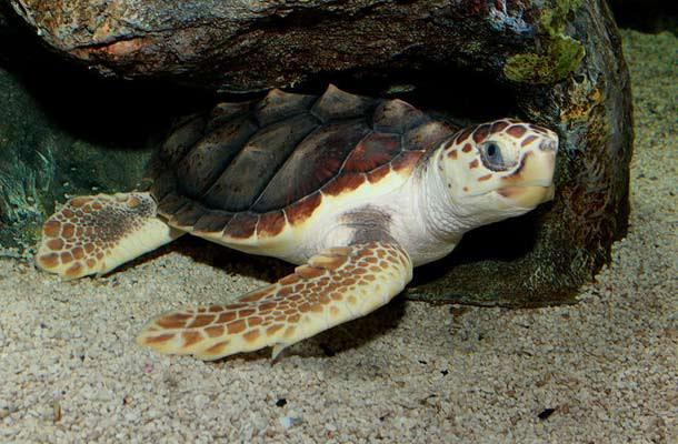 Loggerhead_Sea_Turtle.jpg