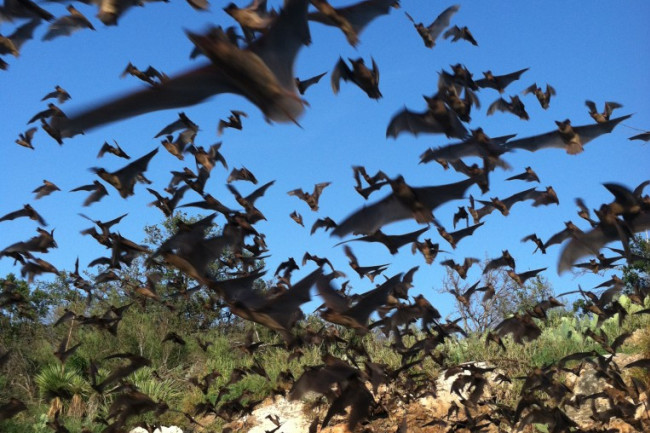Mexican_free-tailed_bats_9415985486-764x1024.jpg