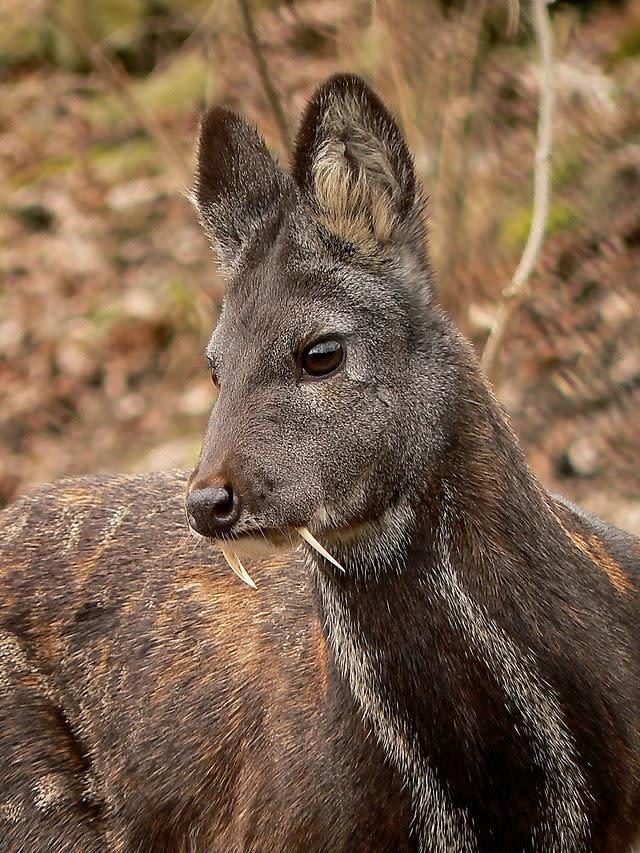 Siberian Musk Deer - Николай Усик