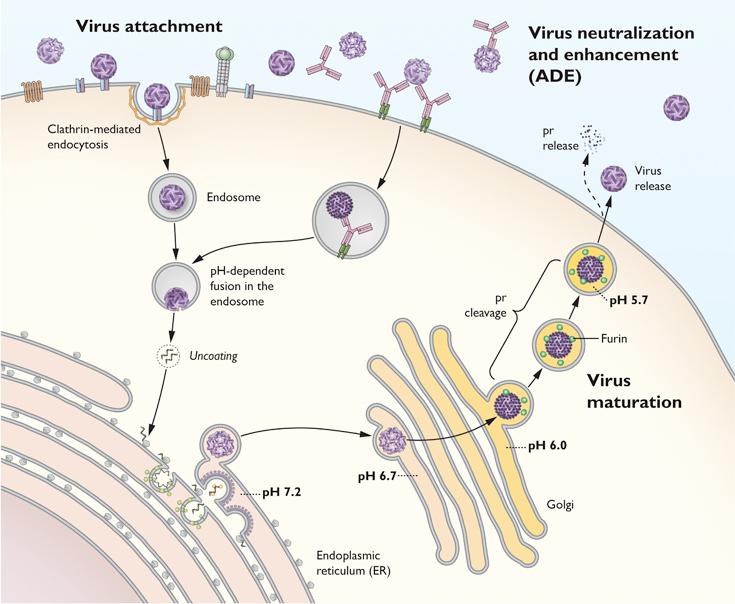 virusDiagram.jpg