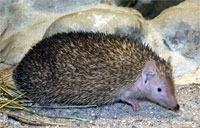 Hedgehog-tenrec.jpg