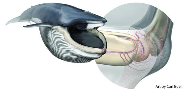 Rorqual_whale_sense_organ.jpg