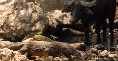Komodo_dragons_buffalo.jpg