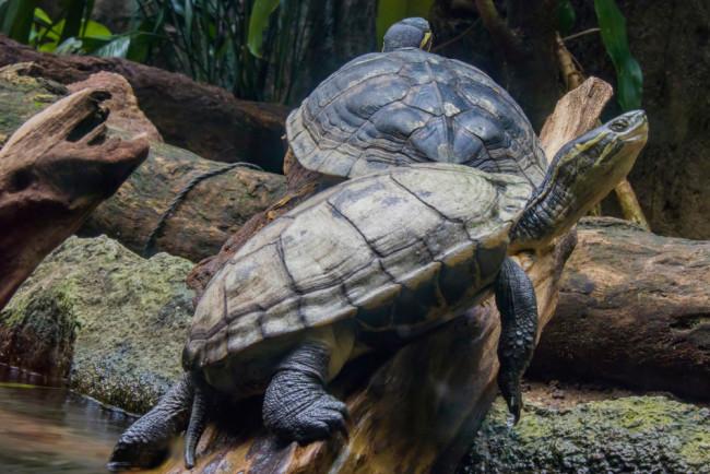 Vietnamese pond turtles - Shutterstock