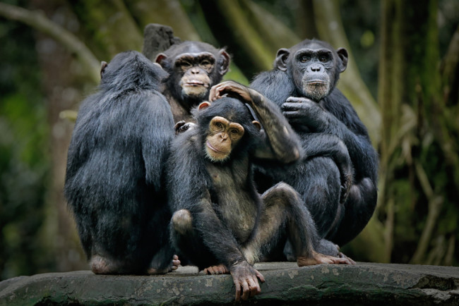 Chimpanzees - Shutterstock