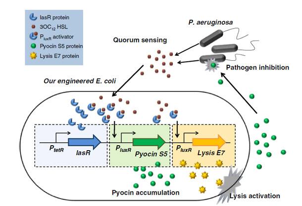 E.coli-suicide-bombers.jpg