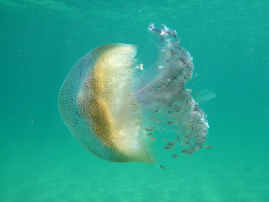 Cover-photo-jellyfish-1024x768.jpg