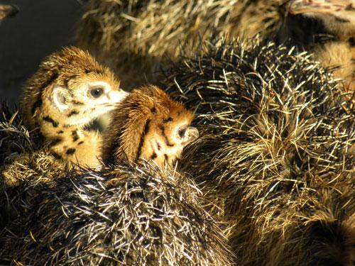 Ostrich_chicks.jpg