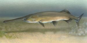 tol%20paddlefish%20300.jpg