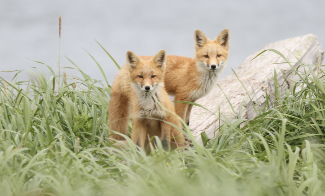 Red Foxes - March/April
