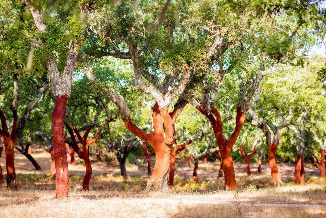 Cork Oak Grove - Shutterstock