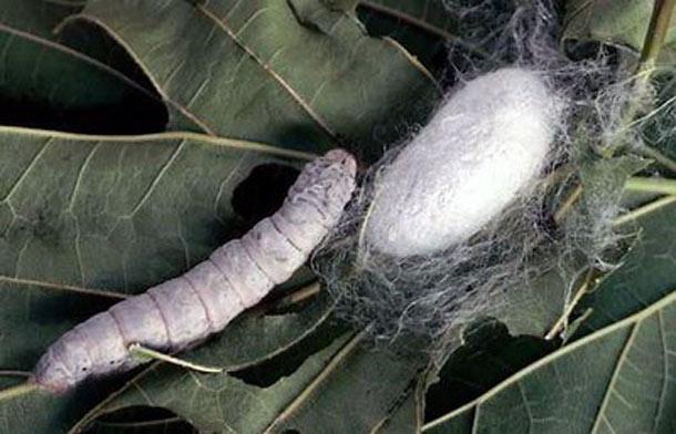 Silkworm__cocoon.jpg