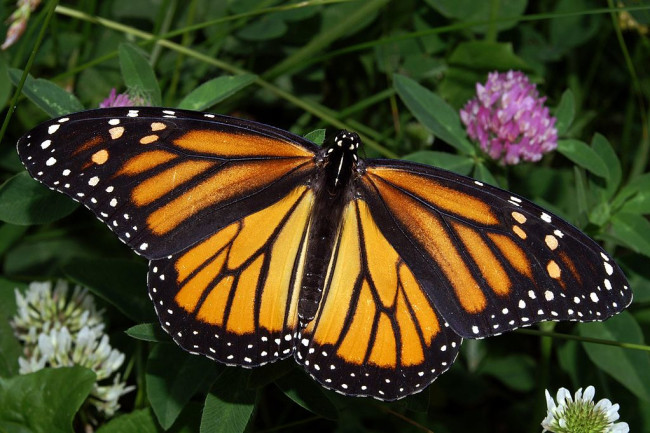 1024px-Monarch_In_May_Wiki.jpg