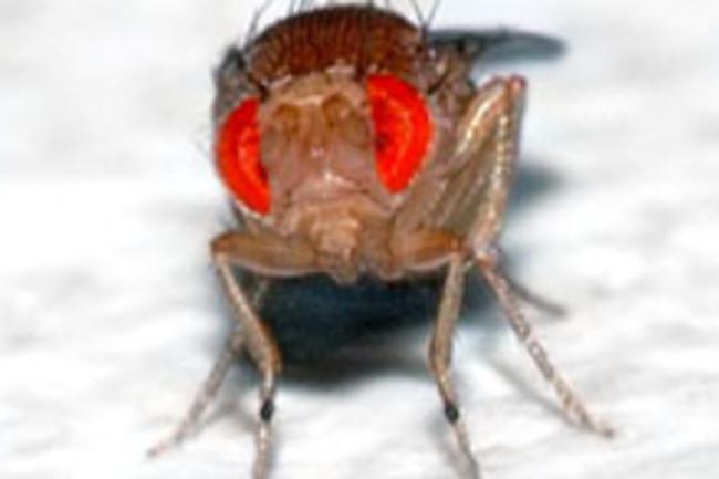 fruit-fly220.jpg