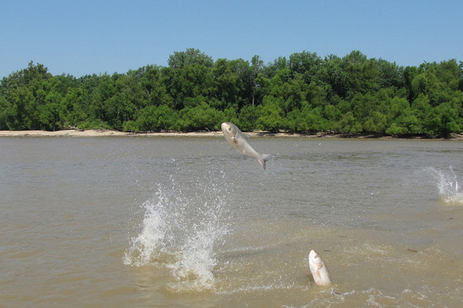 Asian carp jump from the water at the mouth of the Wabash River in Ohio. (Credit: U.S. Army Corps of Engineers/Todd Davis)