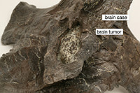 gorgo_braincase_small.jpg