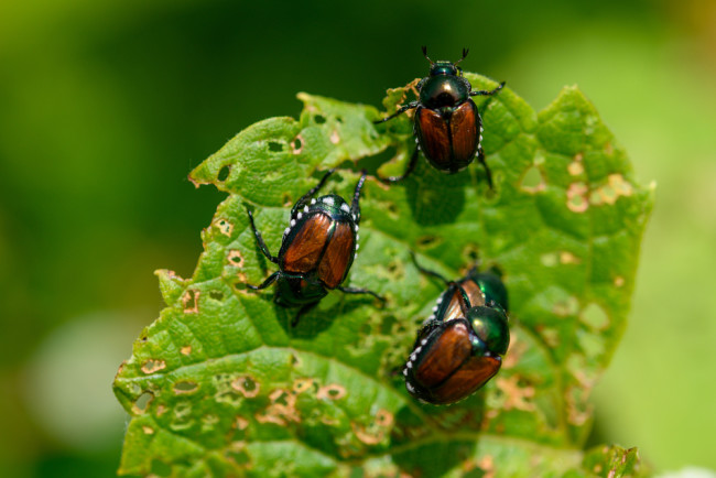 Japanese Beetles - Shutterstock