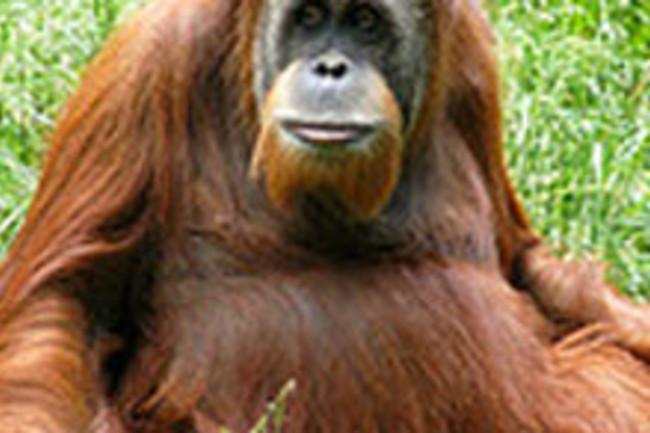 orangutan2web.jpg
