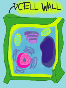 plant-cell-wall-225x300.png