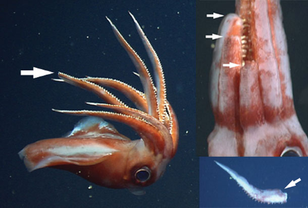Squid_missing_arm.jpg