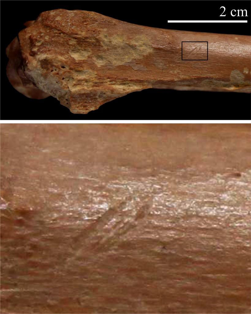 A small bovid radius with stone tool cutmarks excavated from Ain Boucherit. Please note that the image at the bottom shows a close-up view of the cutmarks. [Credit: I. Caceres