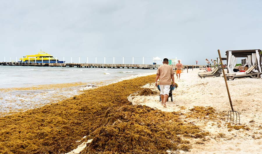 A 'Brown Tide' of Seaweed is Choking the Caribbean and Worrying Scientists