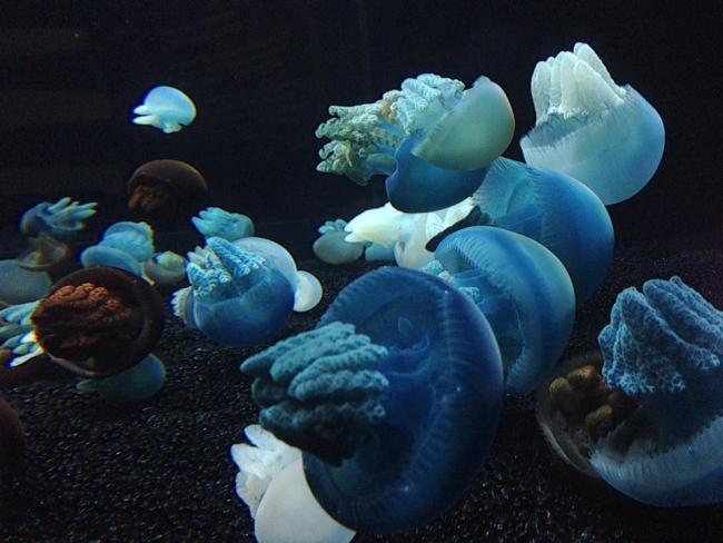 Blubber_Jellyfish.jpg