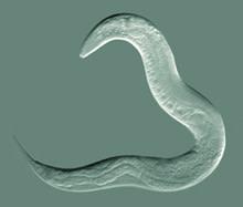 C-elegans.jpg