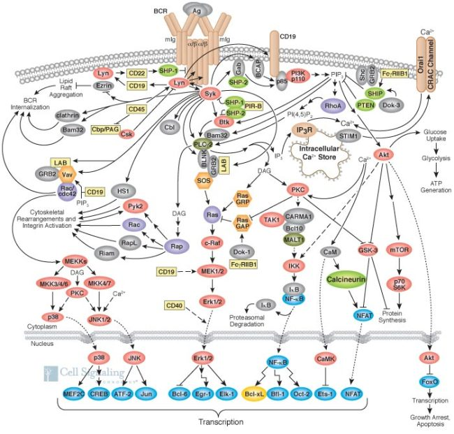 The tangled web of B cell interactions, from Cell Signaling Technology