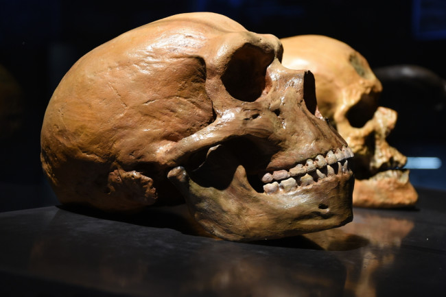 Neanderthal vs. human skull - Shutterstock