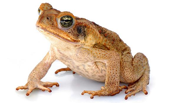 Cane_toad.jpg