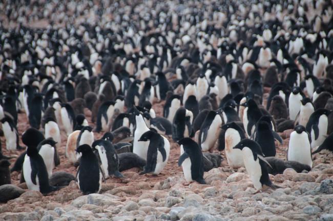 Adelie penguins - Shutterstock