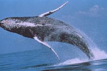 humpback220.jpg