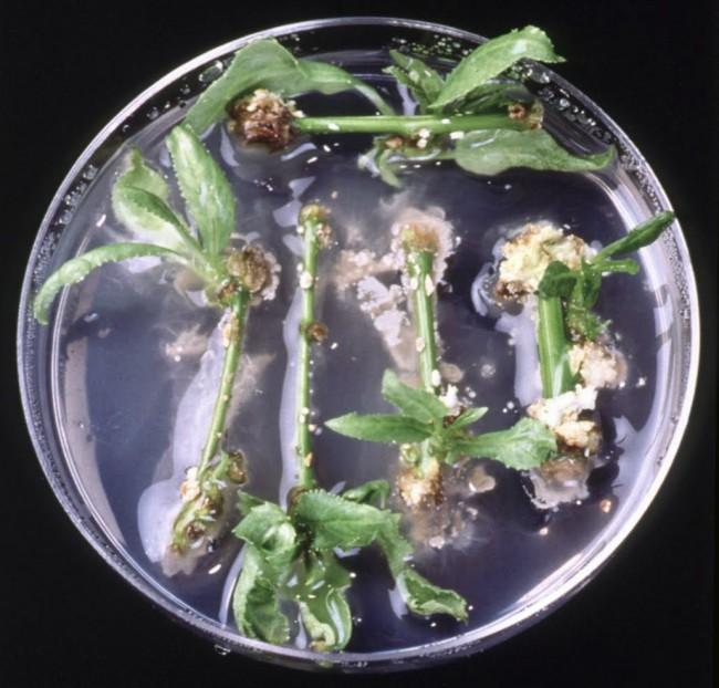 DSC-NC1119 05 Doty petri dish poplar cuttings bacteria