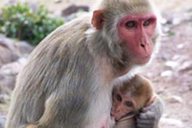monkey tantrum