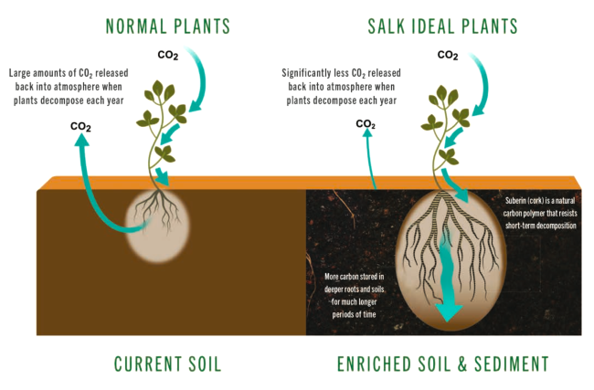 "Plants absorb CO2 as they grow, then release it as they decompose. Engineered ""ideal"" plants would store carbon for many decades in deep roots. (Credit: Salk/HPI)"