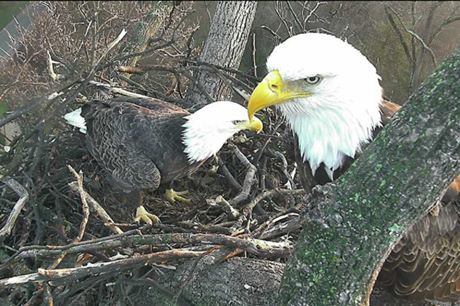 eagles-on-nest-sue-greeley