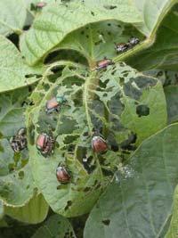 Beetlesonsoybeans.jpg