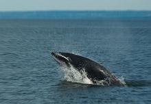 minke-whale.jpg
